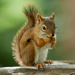 hh-animals-squirrel-4